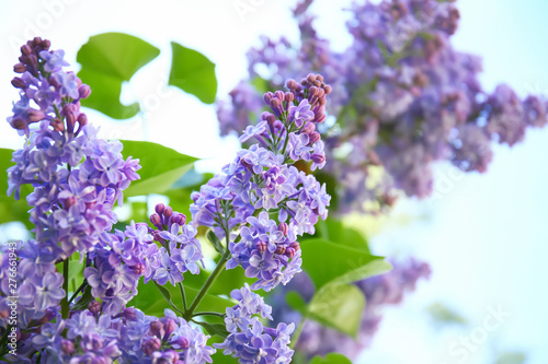 Foto auf AluDibond Flieder Blossoming lilac outdoors on spring day