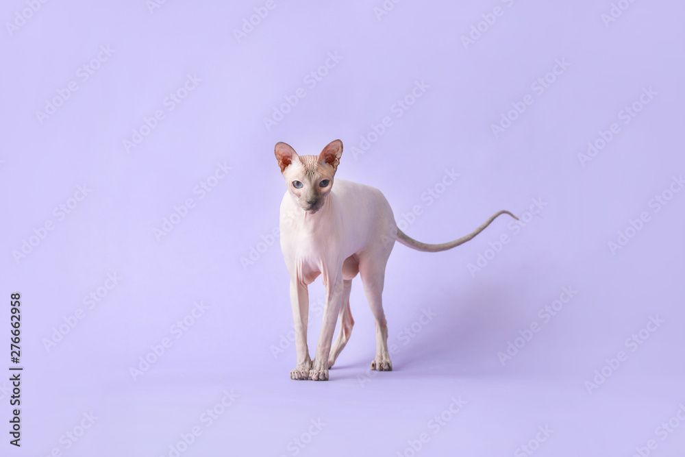 Fototapety, obrazy: Funny Sphynx cat on color background