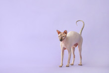 Funny Sphynx Cat On Color Background
