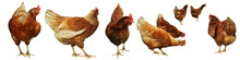 Chicken Egg Breeding Find Your...