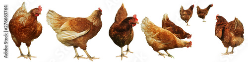 In de dag Kip Chicken egg breeding Find your own natural food on white background.(with Clipping Path).
