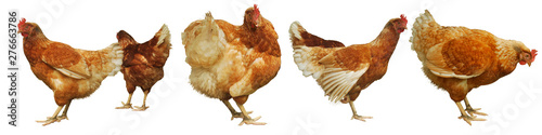 Chicken egg breeding Find your own natural food on white background.(with Clipping Path).