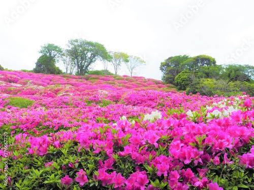 the azalea flower garden