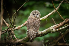 Young Ural Owl In The Tree