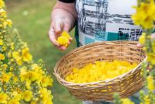 Collect Verbascum Flower, Mullein Plant For Homeophathic Medicine