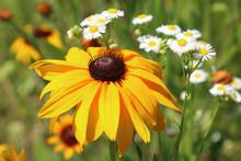 Rudbeckia Is A Plant Genus In ...