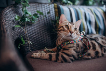Bengal Cat Lying On The Couch