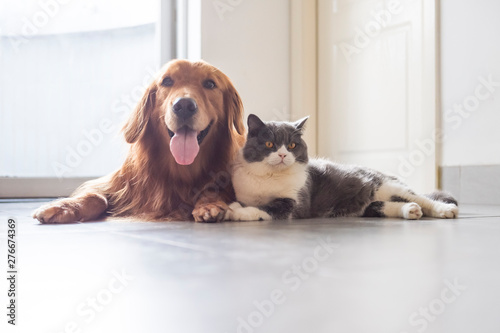In de dag Kat British shorthair and golden retriever friendly