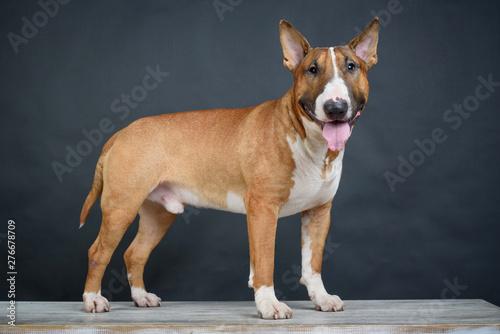 Bull Terrier on a wooden bench on a dark gray background Fototapet