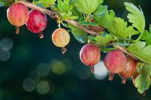 Gooseberry. Fresh Organic Berr...