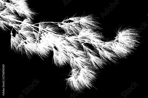 Photo branche de filaos en négatif sur fond noir