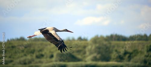 Naklejki Bocian  white-stork-flying-on-against-the-forest-and-blue-sky-background-in-blur