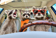canvas print picture - Three funny raccoon with a guitar ride in the car