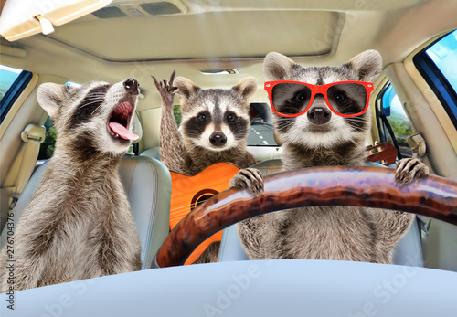 Fotografie, Obraz  Three funny raccoon with a guitar ride in the car
