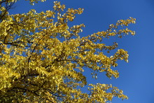 Golden Yellow Leaves Of Mulberry Tree Against Blue Sky