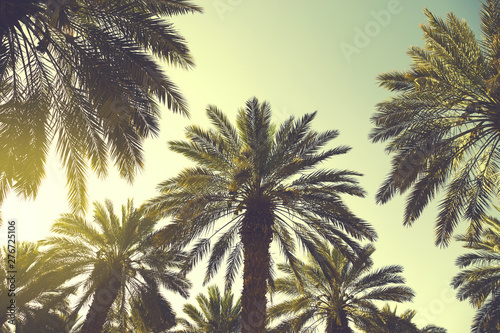 Poster de jardin Arbre Date palm trees plantation against clear sky. Beautiful nature background for posters, cards, blogs and web design