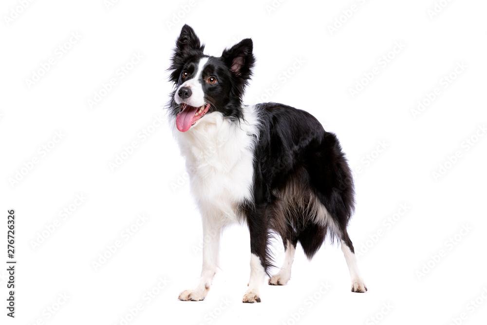Fototapety, obrazy: black and white border collie dog