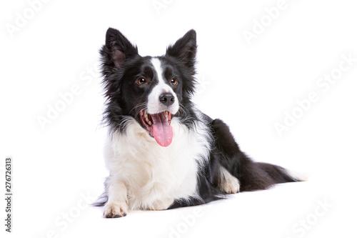 Stampa su Tela black and white border collie dog
