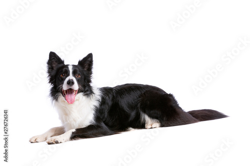 Cuadros en Lienzo black and white border collie dog
