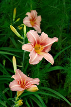 Flowering Hemerocallis 'Stoke Poges' In A Flower Border