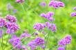 Leinwanddruck Bild - Verbena Bonariensis is a purple flower