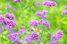 Verbena Bonariensis Is A Purpl...