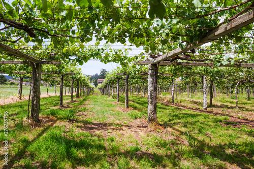 Garden Poster Vineyard Vineyard in Galicia