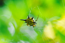 Spiny Orb Weaver In Nature Can Be Found All Over The World But Without Danger.