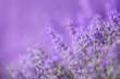 canvas print picture - Lavender flowers in a soft focus, pastel colors and blur background
