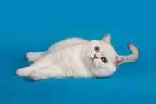 British Chinchilla Breed Cat White With Magical Green Eyes Lying On A Blue Background.