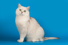 British Chinchilla Breed Cat White With Magical Green Eyes Sitting On A Blue Background.