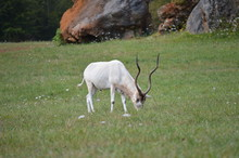 Portrait Of An Addax In The Natural Park Of Cabarceno Old Mine For Iron Extraction. August 25, 2013. Cabarceno, Cantabria. Holidays Nature Street Photography Animals Wildlife