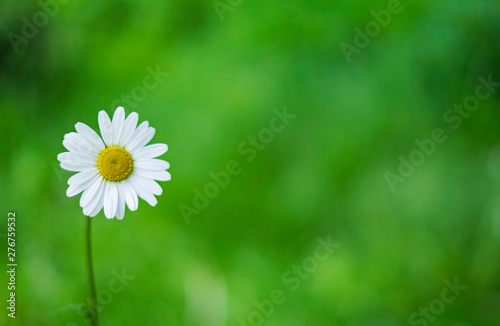 Daisy flower on the green background, summer concept
