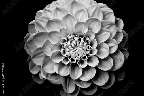 Isolated Dahlia flower in bloom close up