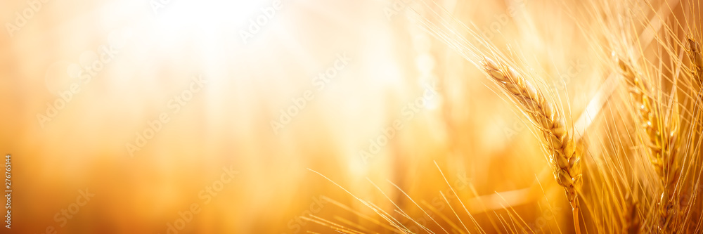 Fototapety, obrazy: Close-up Of Ripe Golden Wheat With Sunlight - Harvest Time Concept