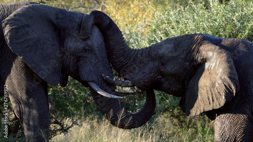 Poster Elephant Elephant love