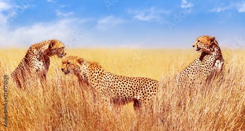 Group of cheetahs in the African savannah. Africa, Tanzania, Serengeti National Park. Wild life of Africa.
