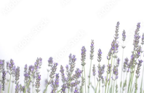 Spoed Fotobehang Lavendel Lavender flowers isolated on white background