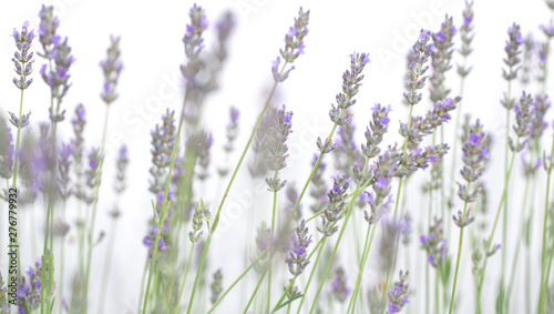 Garden Poster Lavender Lavender flowers isolated on white background