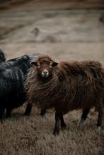 Long Wool Brown Sheep
