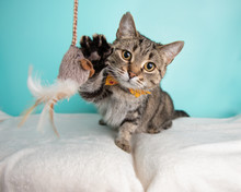 Cute Young Adult Short Hair Rescue Cat Playing With A Cat Toy And Wearing A Bow Tie