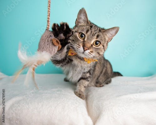 Obraz na plátně Cute young adult short hair rescue cat playing with a cat toy and wearing a bow