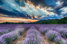 Intense Purple Lavender Field оverwhelmed With Blooming Bushes Grown For Cosmetic Purposes. Sunset Time With Sky Filled With Cumulus Clouds And Rays Sunlight. Near Burgas, Bulgaria.
