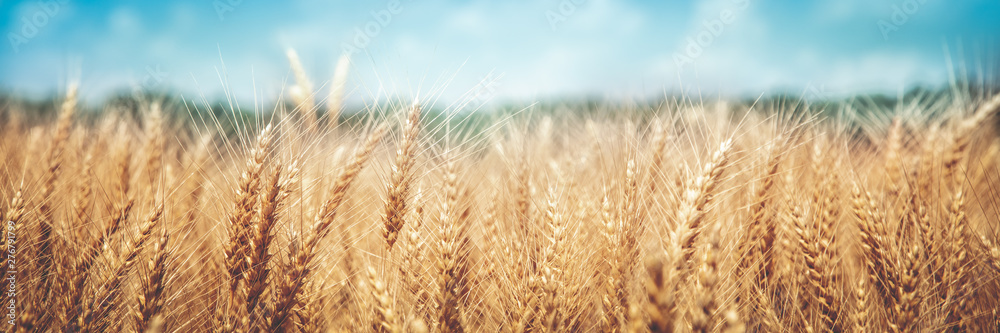 Fototapety, obrazy: Banner Of Ripe Golden Wheat With Vintage Effect, Clouds And Blue Sky - Harvest Time Concept