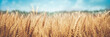 Leinwandbild Motiv Banner Of Ripe Golden Wheat With Vintage Effect, Clouds And Blue Sky - Harvest Time Concept