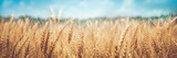 Banner Of Ripe Golden Wheat With Vintage Effect, Clouds And Blue Sky - Harvest Time Concept