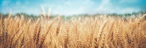 Fototapeta Banner Of Ripe Golden Wheat With Vintage Effect, Clouds And Blue Sky - Harvest Time Concept obraz