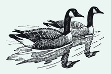 Two Swimming Canada Geese, Branta Canadensis. Illustration After A Vintage Engraving From The Early 20th Century. Editable In Layers