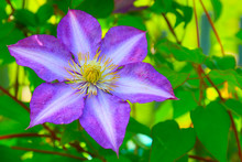 Elegant Purple With White Stripe Flower Perennial Vines Of Clematis In The Garden On Green Leaves Background. Colorful Artistic Image Of Clematis Flowers In A Garden