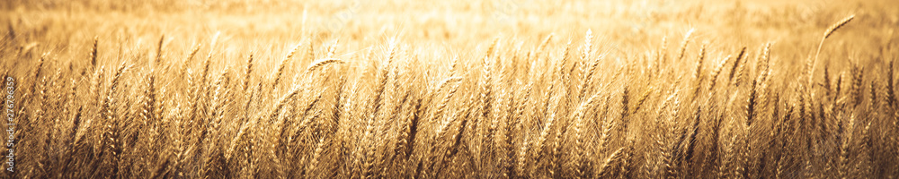 Fototapety, obrazy: Natural Background Banner Of Ripe Golden Wheat - Harvest Time Concept